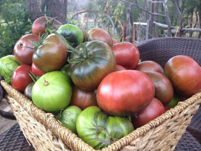 tomato harvest 2014